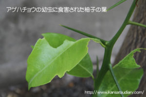 食害される柚子の葉