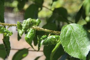 梅の葉につくアブラムシ