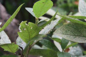 ツツジの葉につくツツジグンバイ
